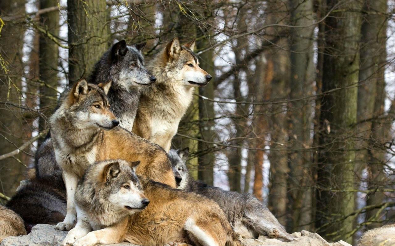 Maroosya Wolf Rising