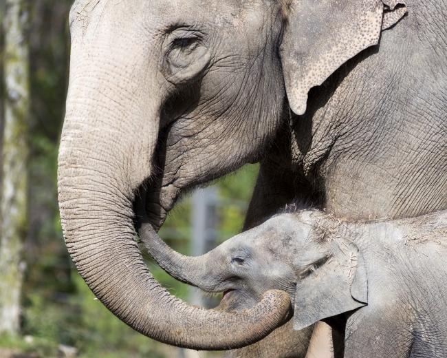© Patrick Rolands      Слонихи —  прекрасные приемные мамы