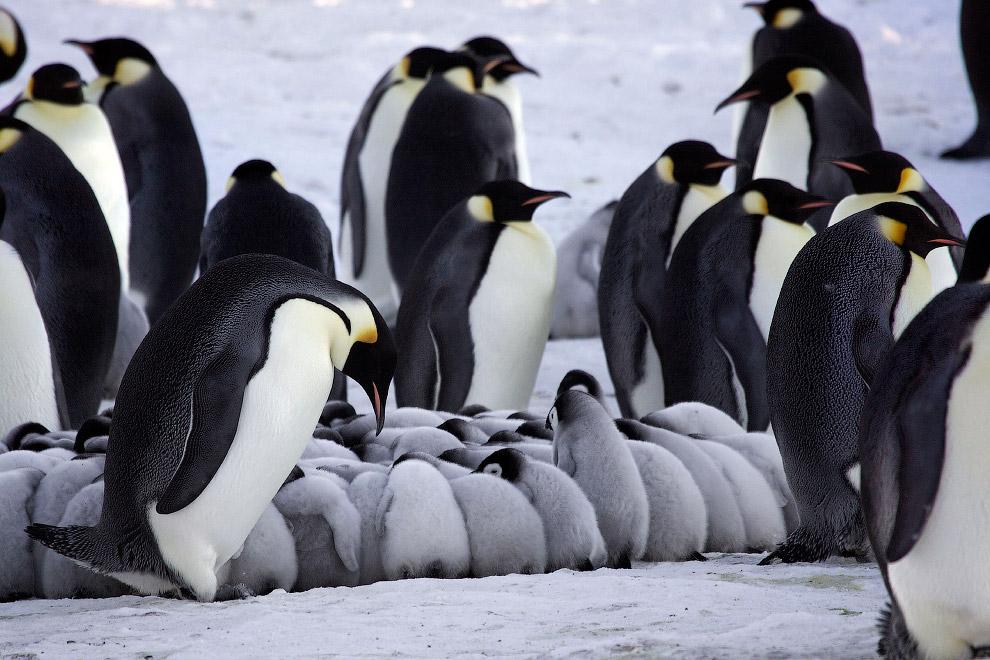11. Так пингвины отогревают своих пингвинят, образовывая вокруг них кольцо.