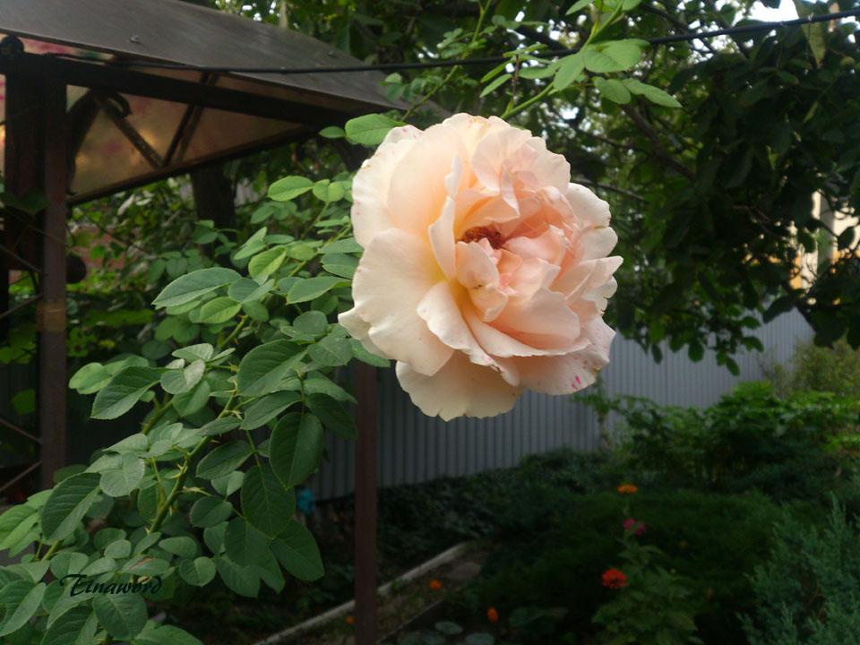 роза-2.jpg