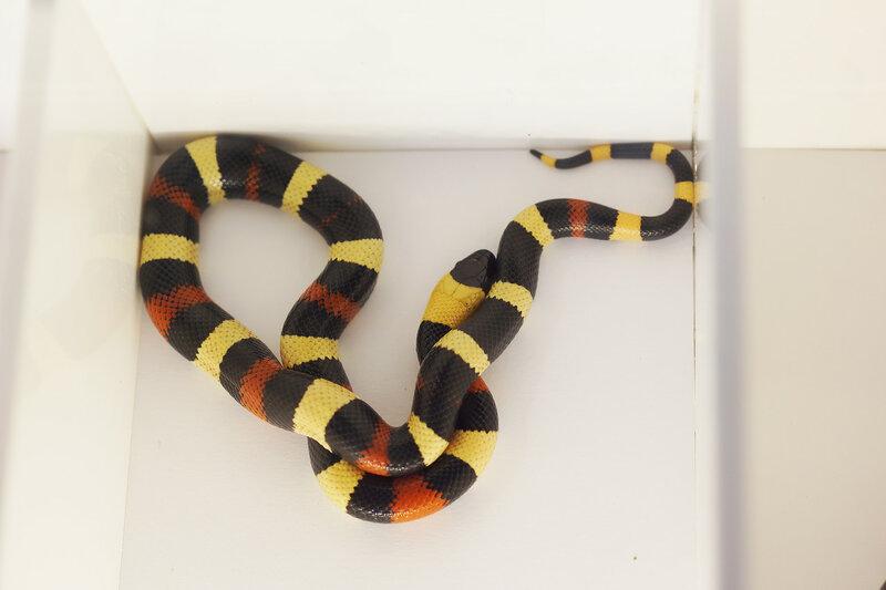 Змея королевская