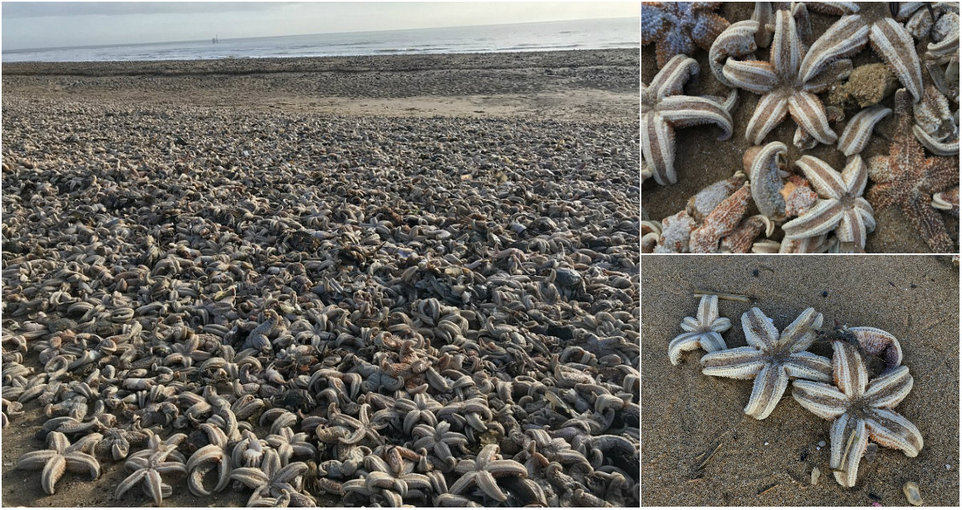 Тысячи мертвых морских звезд выбросило на пляж в Великобритании