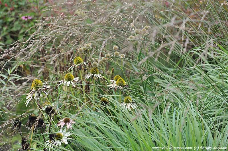 Ehinacea purpurea Alba Eryngium yuccifolium.JPG