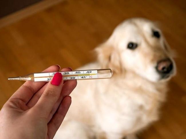 © wikihow.com  Если увас есть подозрения, что ваш питомец мог перегреться, стоит измерить его