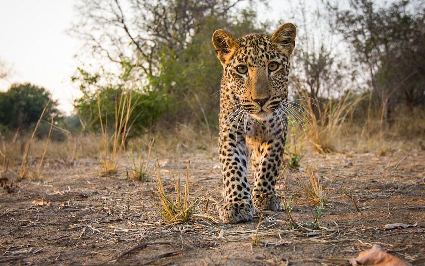 В отличие от леопардов, львы очень любознательны. Они приходят и проверяют камеру по многу ра