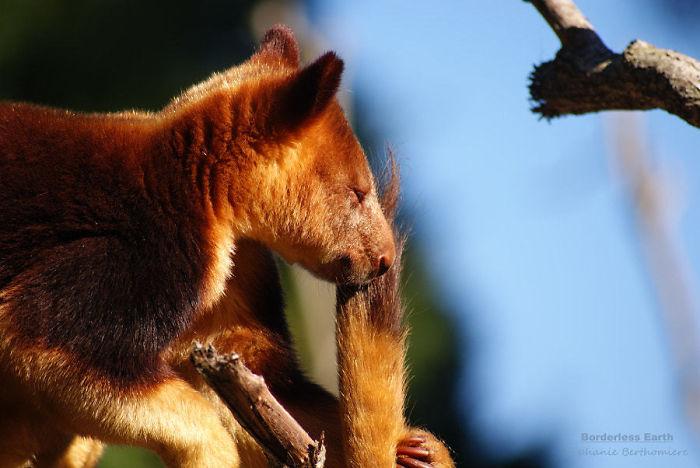 Древесный образ жизни наложил свой отпечаток не только на внешность кенгуру Гудфеллоу, но и на их пр