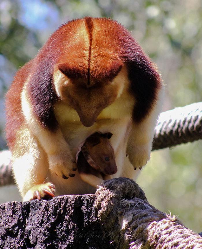 Древесные кенгуру Гудфеллоу – не только превосходные верхолазы, но и выносливые, крепкие животные с