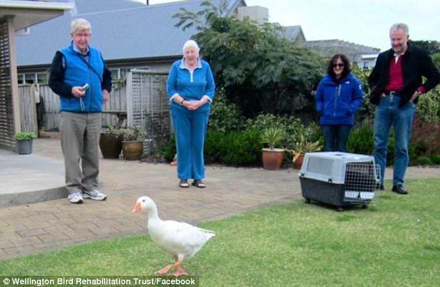 гуси лебеди любовь Новая Зеландия отношения птицы смерть