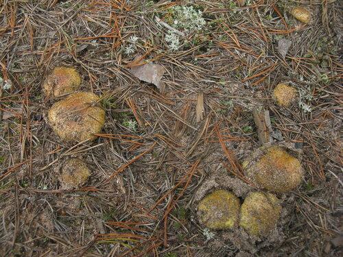 Зеленушка (Tricholoma equestre). А вот с зеленушками был полный порядок. Но червивость у них приближалась в сентябре к 100% Автор фото: Станислав Кривошеев