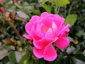 Розовая