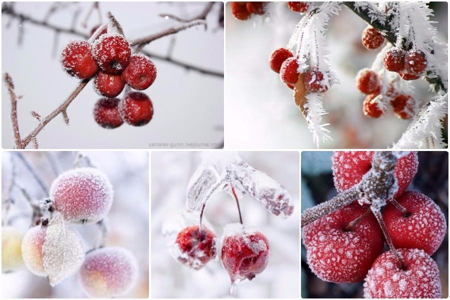 Райская яблоня, особенности ухода и посадки - декоративность круглый год, эффектный сад зимой