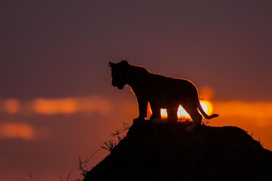 2. Львенок на закате. (Фото: Пол Гольдштейн / Rex)