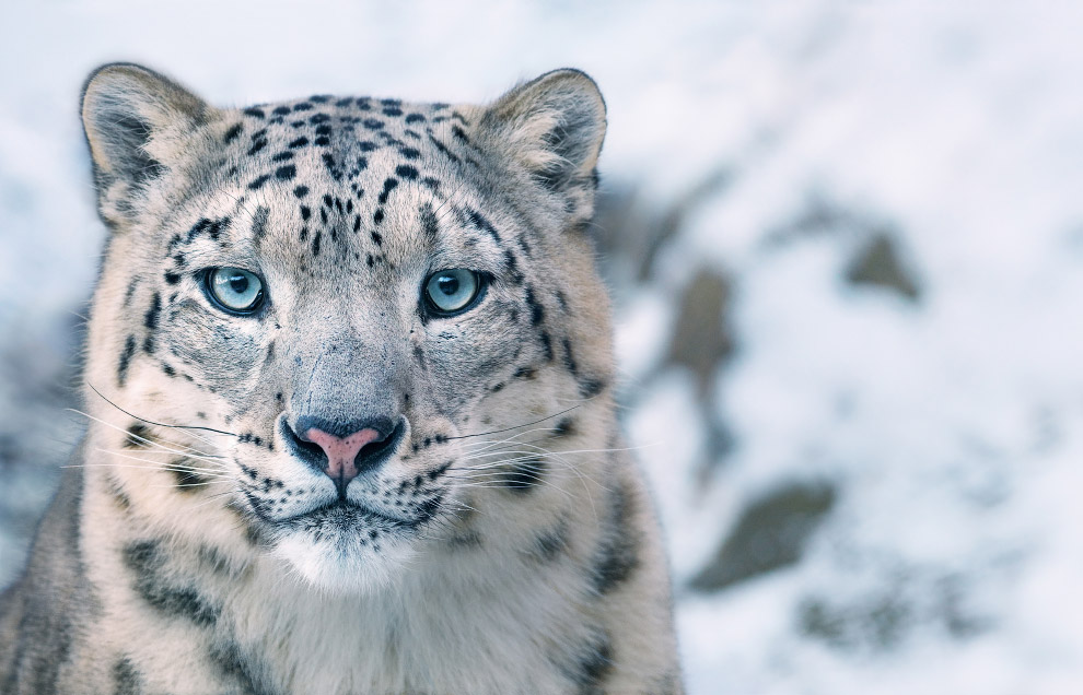 21. Малый солдатский ара. Относится к уязвимым видам. (Фото Tim Flach, from Endangered by Tim Flach)