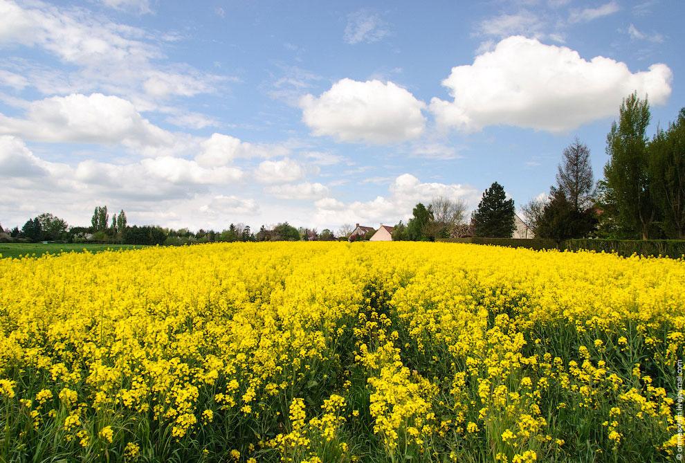 Рапс — травянистое растение семейства Капустных. Используется как основа для комбикормов, а также дл