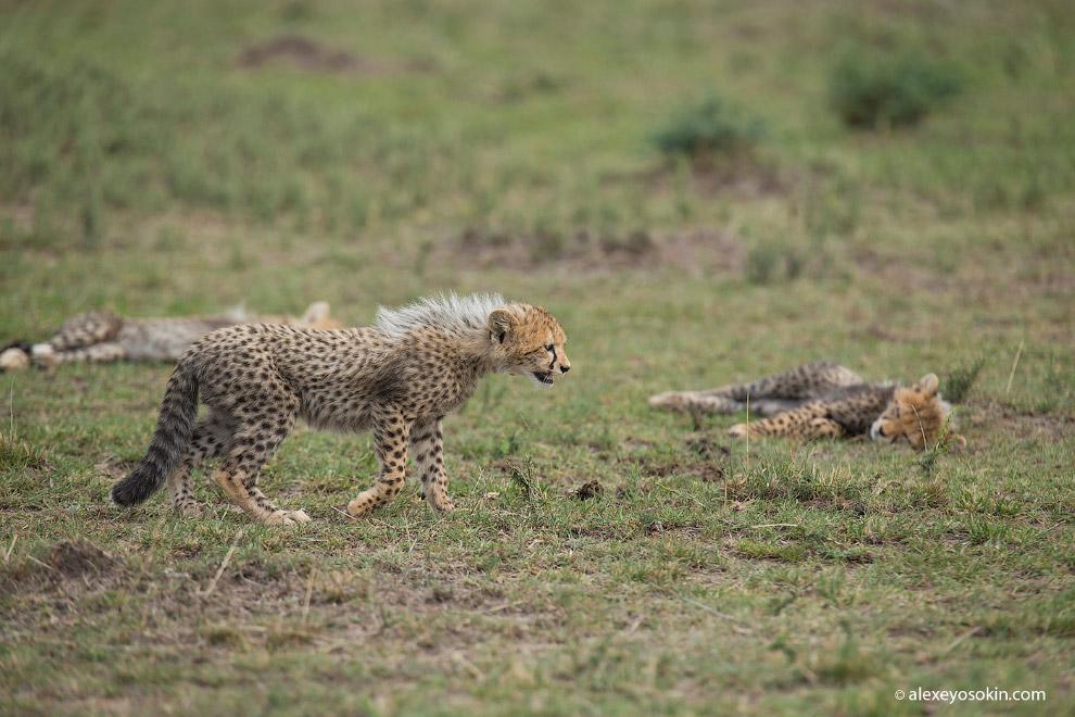 3. Хохолок на спине котят — это хорошее средство защиты. Крупные хищники путают котенка гепарда с др