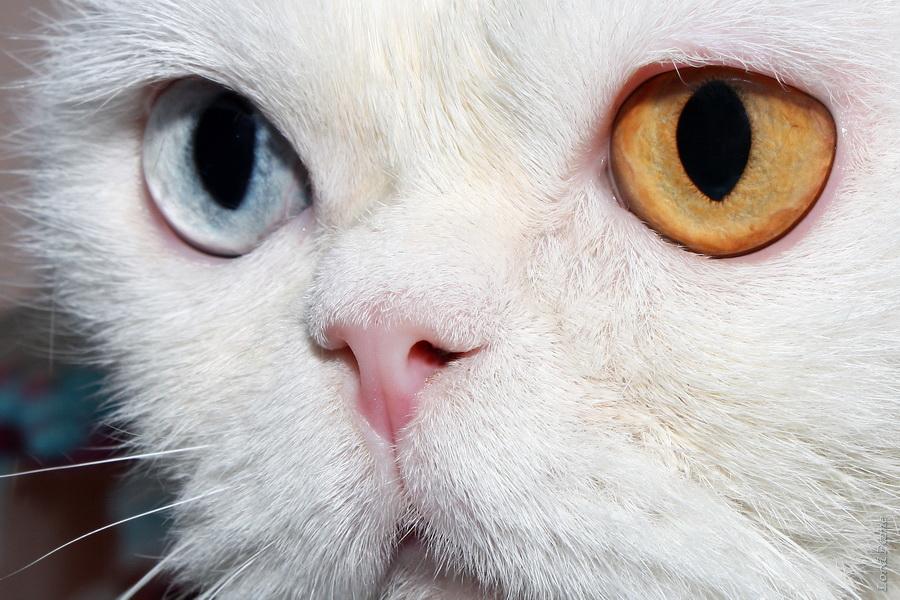 Кот Кефир, повышенной разноглазости!