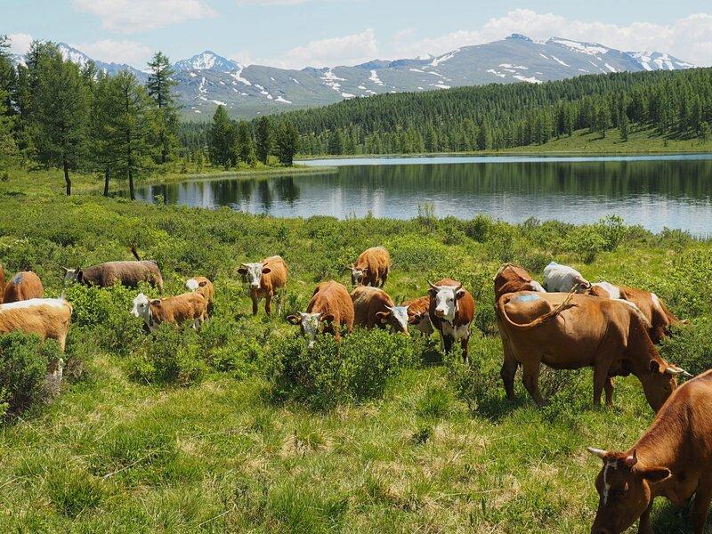 Россия, Горный Алтай – коровы (Russia, Mountain Altai – cow)