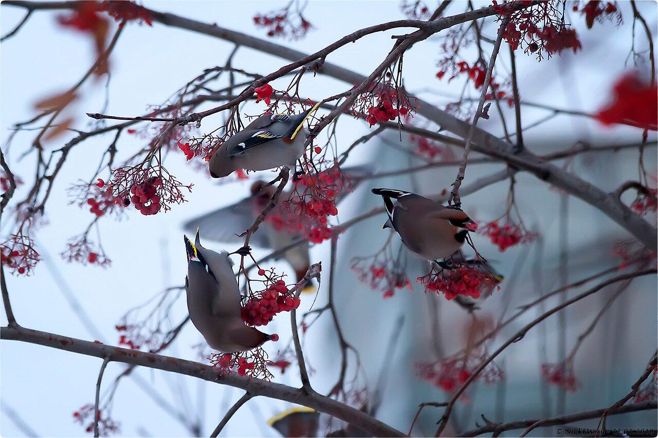 Свиристели кушаютЬ [© NickFW - 12.01.2018]