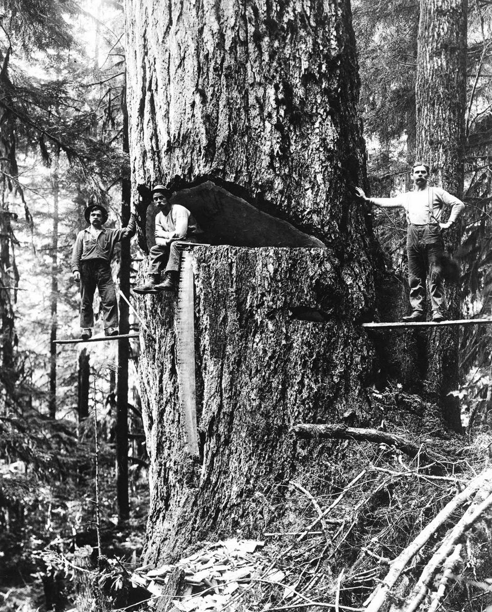 1918. Три лесоруба возле большой пихты Дугласа, готовой к вырубке. Орегон