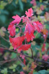 Багряные листья