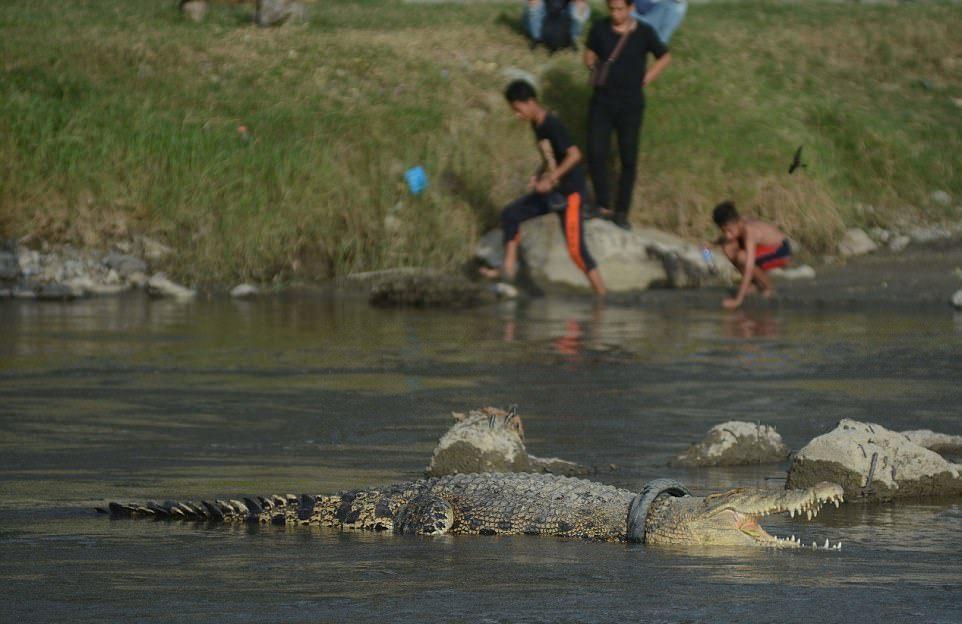 Крокодил минимум два года живет с покрышкой на шее снять, крокодила, покрышкой, Впервые, Сулавеси, охране, природных, ресурсов, хотели, выманить, рептилию, берег, попытаться, увенчались, попытки, Центрального, успехом, Крокодил, продолжает, расти