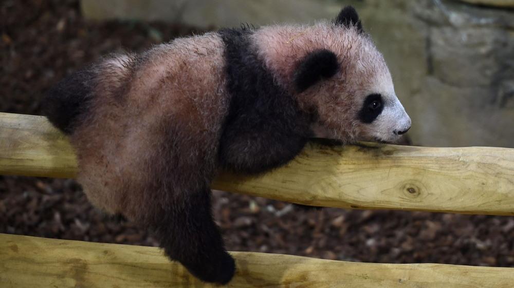 Первое появление на публике медвежонка панды во французском зоопарке
