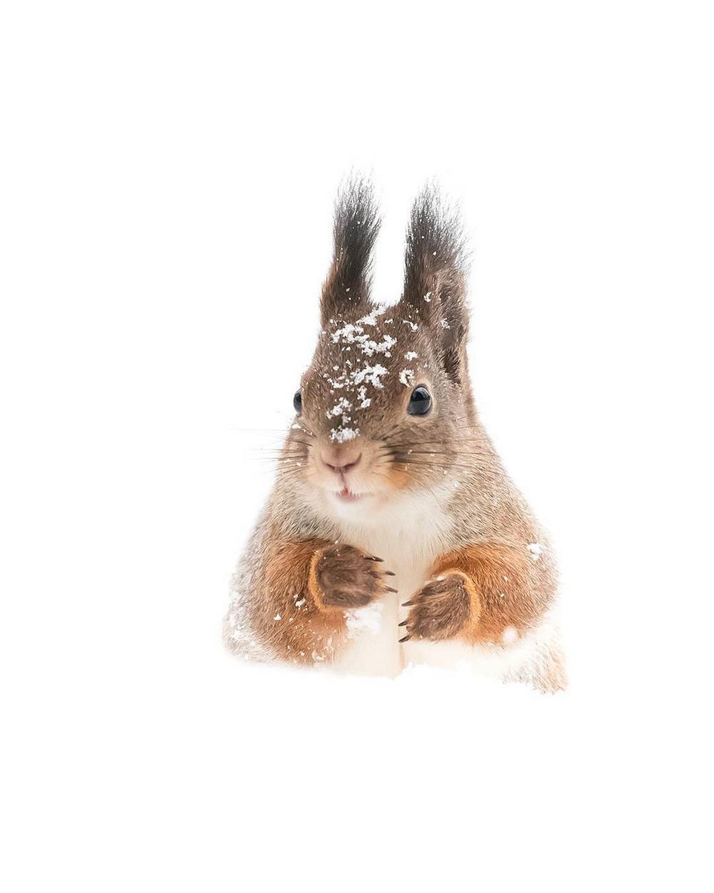 Дикая природа Финляндии: симпатичные портреты животных Осси Сааринена