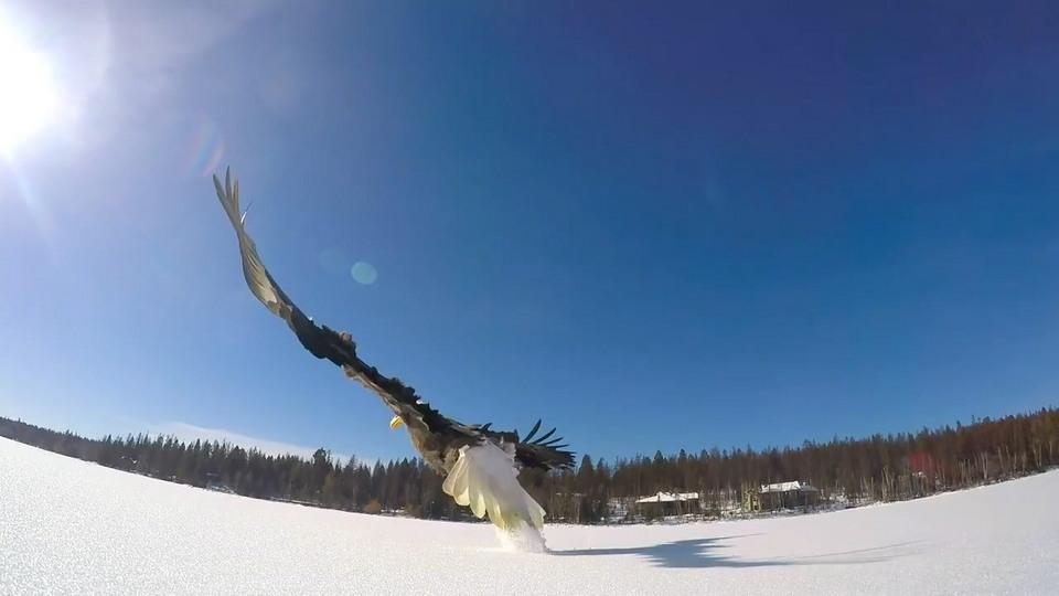Белоголовый орлан украл улов у рыбаков когда, рыбака, нравится, стремительно, улетела, описании, видео, рыбак, написал, Фрэнк, ловить, схватила, Фрэнком, исключением, случаев, крадет, Иногда, может, настоящим, также