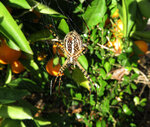 Макро. Самка Argiope trifasciata