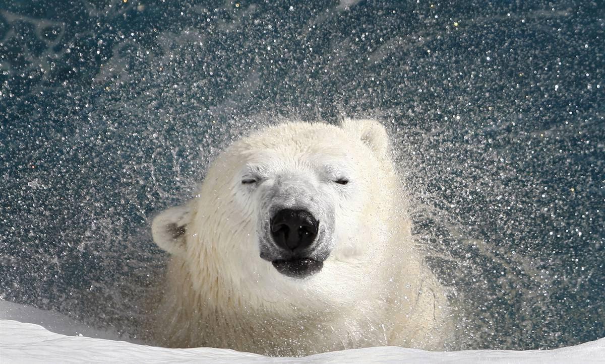 Международный день полярного медведя. Приятно искупаться! открытки фото рисунки картинки поздравления