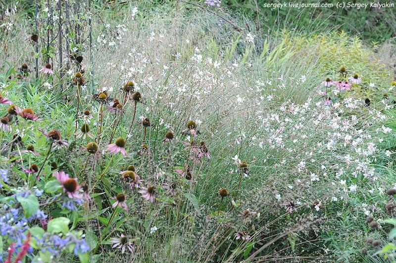 Gaura Echinacea.JPG