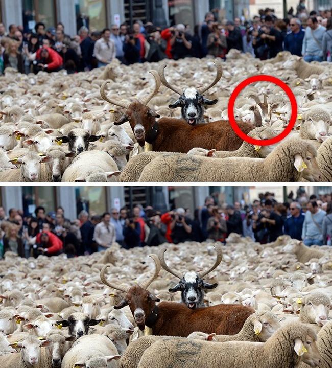 © eastnews  © depositphotos  Наснимке перегон овец вМадриде— зрелищный праздник, посв