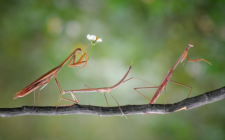 6. Наездник. Лягушка на спине жука-усача. (Фото Hendy MP):