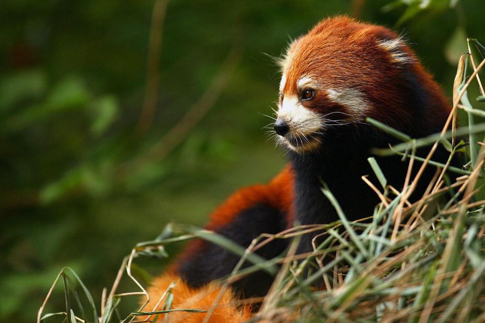 20. Еще несколько милых картинок из уникального резервата большой панды в провинции Сычуань. (Фото R