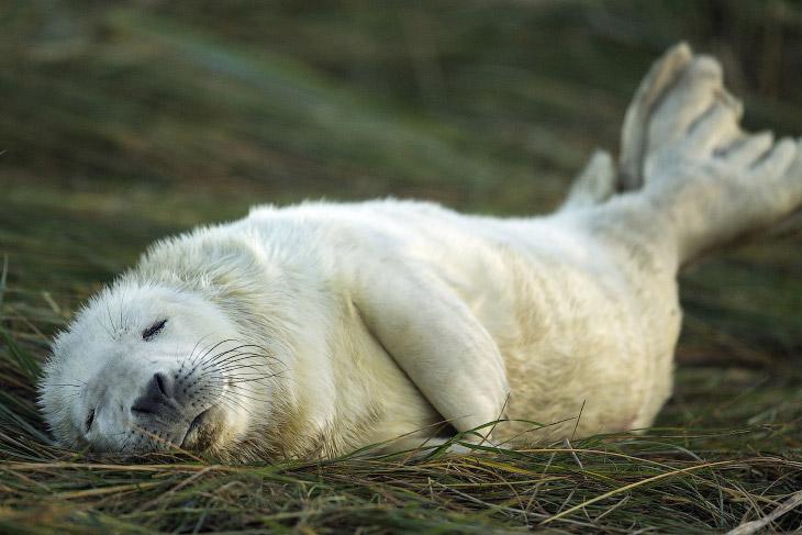 1. Эти тюлени предпочитают пустынные скалистые берега, у берегов Канады часто залегают на льдах. (Фо