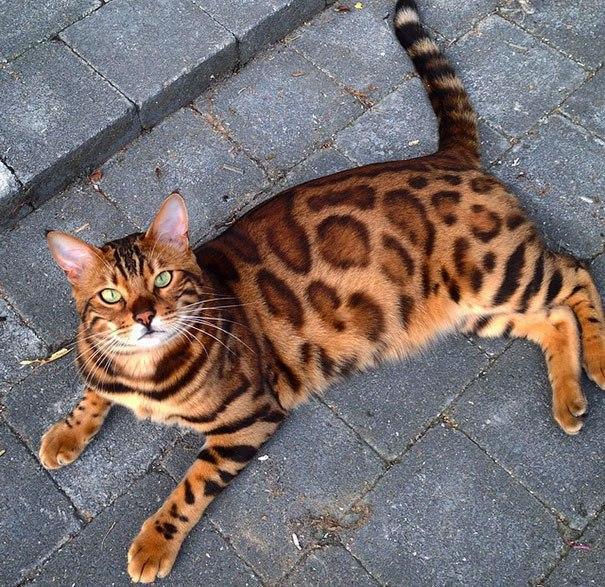 Тор — бенгальский кот с самым красивым окрасом из всех, что вы видели (10 фото)