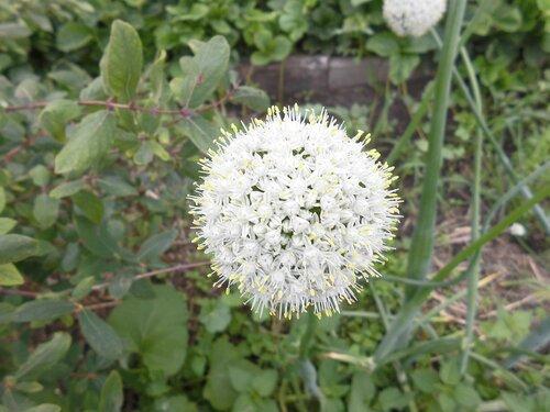 цветение лука
