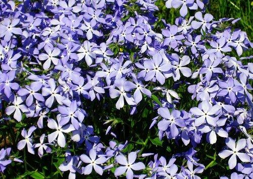Голубые звёздочки