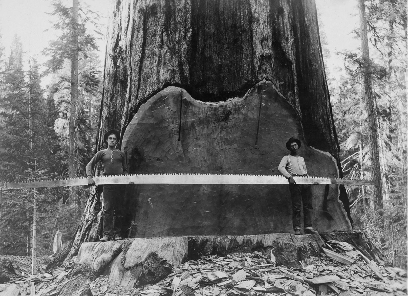 1917, Калифорния. Лесорубы держат поперечную пилу возле гигантского ствола секвойи