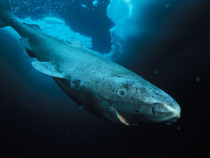 Ученые нашли самое старое животное на Земле: этой полярной акуле уже 512 лет (6 фото)