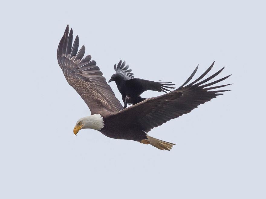 Уникальные фотографии ворона, летящего верхом на орле