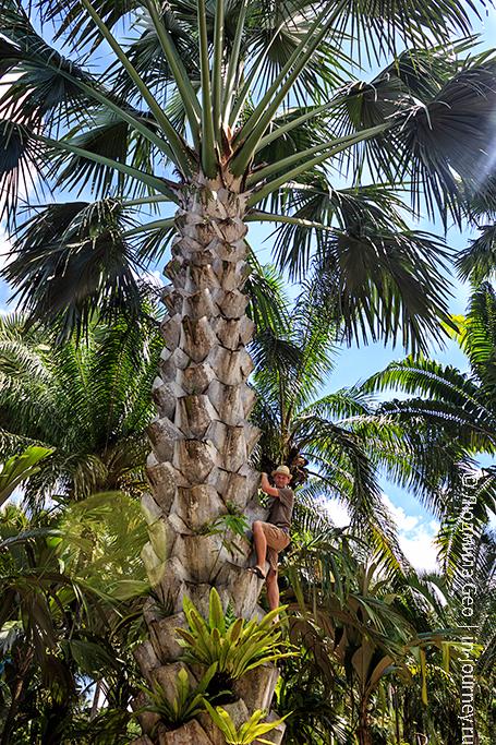 сад мадам нонг нуч огромная пальма