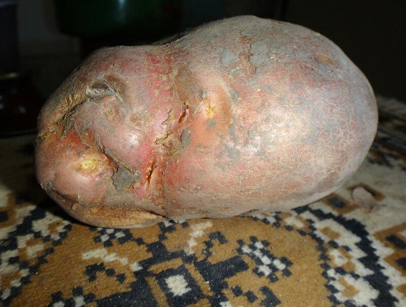 Из произведений Природы, вариант картофеля ... DSC04084.JPG
