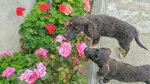 Ах, как прекрасны розы