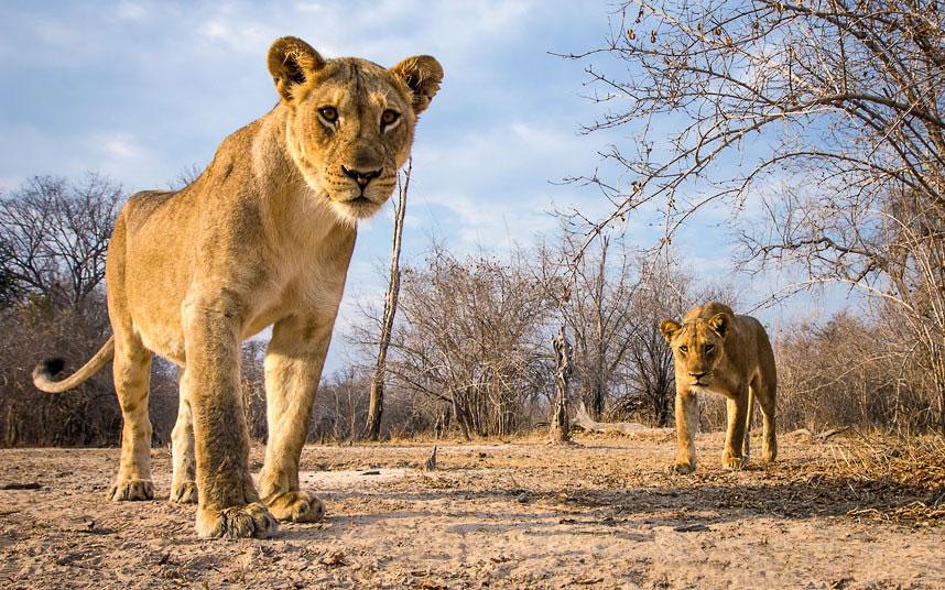 Уилл называет леопардов «застенчивыми существами», поэтому ему пришлось потратить много времени, что