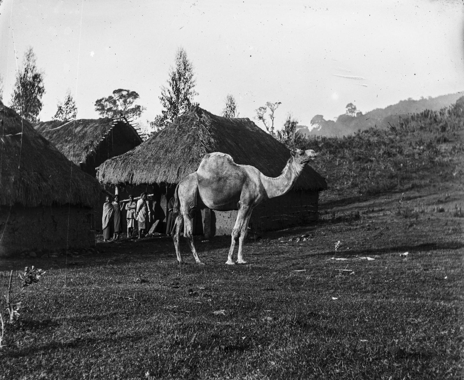 20. Магамба. Верблюд перед крытыми соломой хижинами