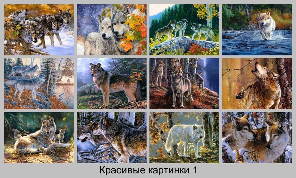 Волки Картинки. Старая волчица