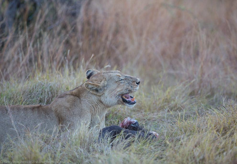 13. А вот эту старую львицу молодые львы беспардонно отодвинули от туши. Так уж устроена жизн