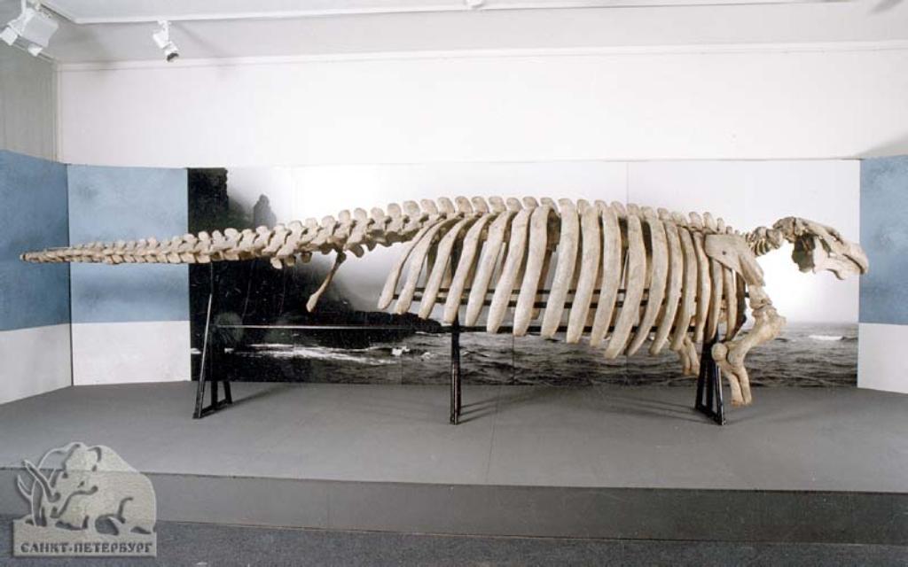 Почти все свое время морские коровы тратили на поедание водорослей. Они были настолько увлечены проц