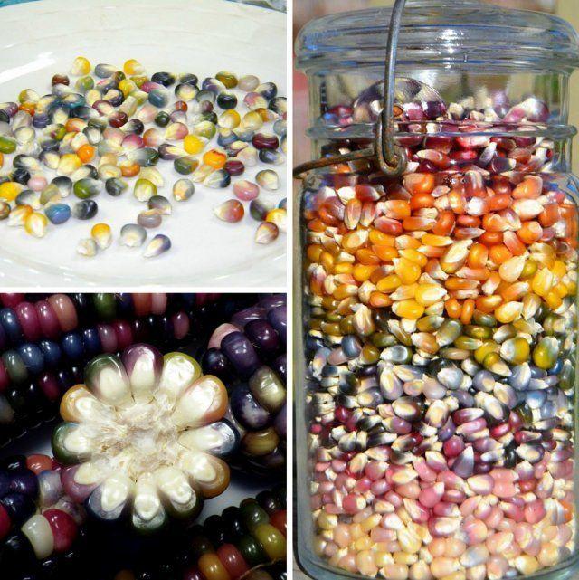 Glass Gem огород цветная кукуруза